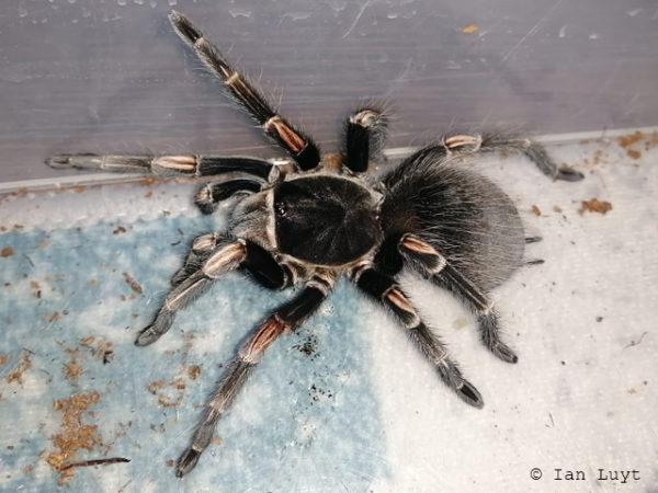 Lasiodorides striatus - Peruvian Orange Stripe - Mature Female - Photo Credit & Source: Ian Luyt