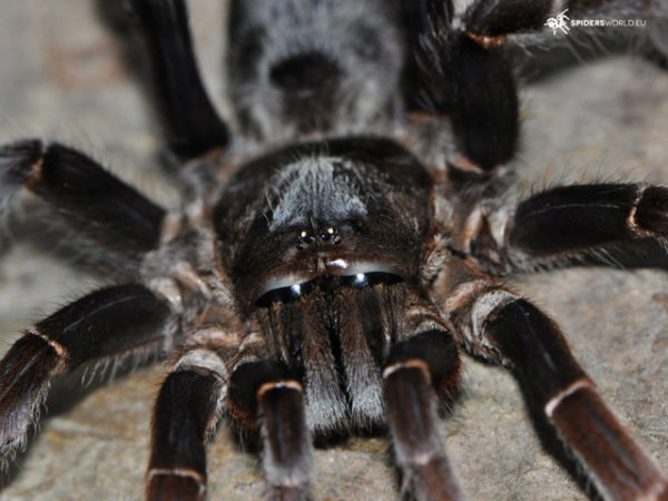 Lyrognathus giannisposatoi - Sumatran Stout Leg - Mature Female - Photo Credit: Spidersworld.eu