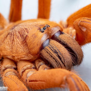 Orphnaecus philippinus - Philippine Tangerine - Mature Female - Photo Credit: Isiah Rosales - Flexzone (Arachnoboards)