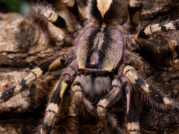 Poecilotheria hanumavilasumica - Rameshwaram Ornamental Tarantula - Mature Female - Photo Credit: ©Danny de Bruyne