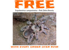Free Pink Zebra Beauty - Eupalaestrus Campestratus with every order over R250!